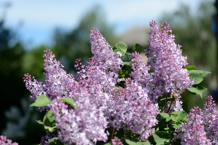 Clusters of blooming lilacs on a bush on a bright spring day