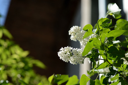 A bush of white lilac blooms on a sunny spring day