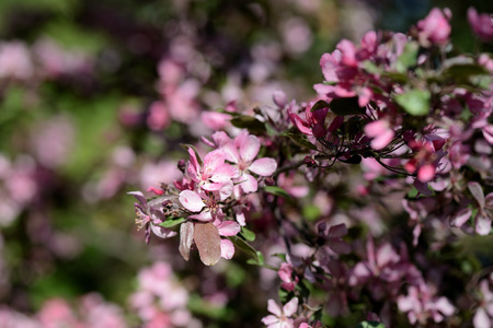 Pink flowers of apple tree in spring garden close up