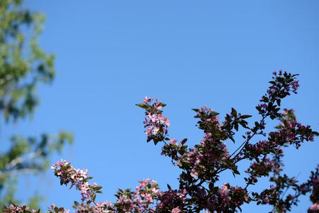 Beautiful flowering apple trees in spring garden