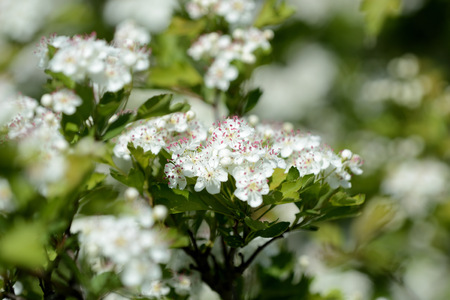 Beautiful white flowers of hawthorn on a sunny day close up