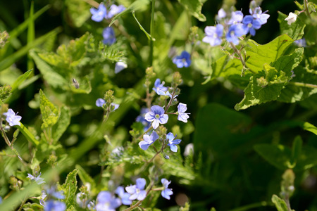 Small blue flowers of germander speedwell (Veronica Chamaedrys) in the forest on a sunny day close up
