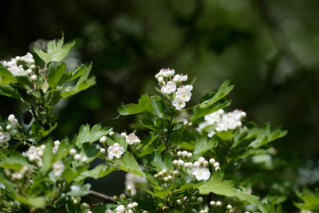 Hawthorn flowers in the forest on a bright sunny day