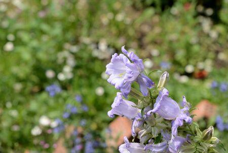 Canterbury bells (Campanula medium) in the garden on a summer day close up Stock Photo