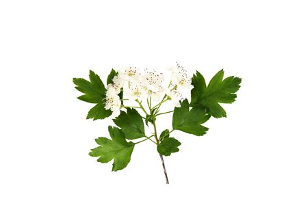 Branch of hawthorn (Crataegus monogyna) with flowers isolated on white background close up