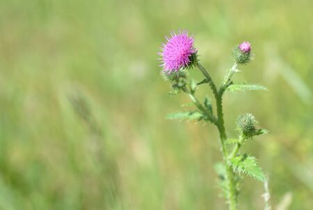 Thistle flowers on the lawn on a summer day close up Stok Fotoğraf