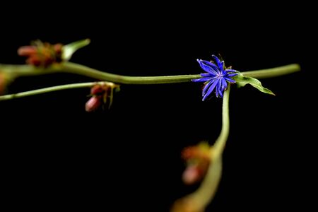 Stem with chicory flower isolated on black background close up