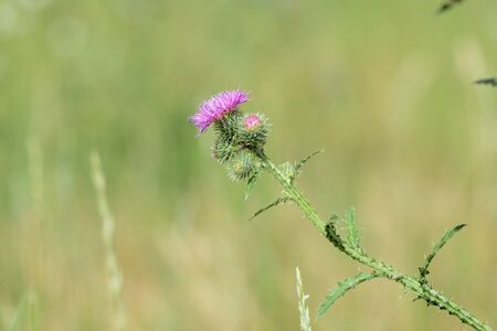 Blooming thistle on a sunny summer day close-up 版權商用圖片