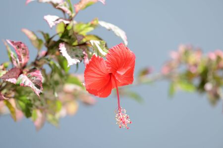 Red hibiscus flower blooms in the garden. Koh Samui, Thailand