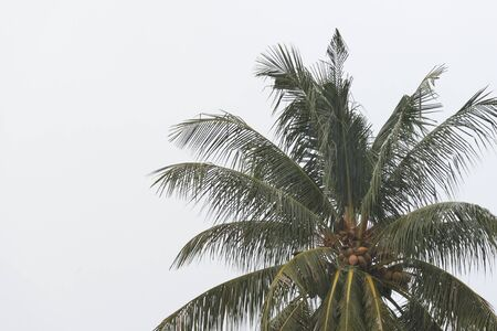 Coconut palm tree under tropical rain against the gray sky. Tropical background