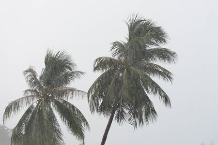 Coconut trees under tropical rain against the gray sky. Tropical background Stock Photo