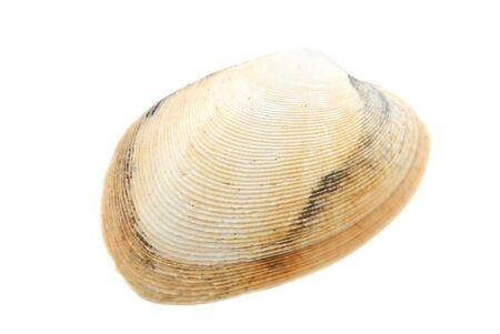 Schöne Muschel isoliert auf weißem Hintergrund Nahaufnahme