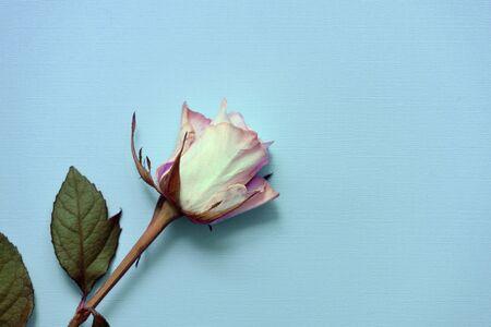 美丽的白色玫瑰在蓝色背景上的特写,俯视图