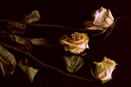 Wilted white roses on a dark background close up in retro style Banco de Imagens