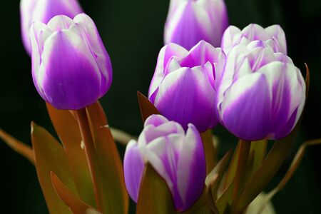Bouquet of unreal purple tulips on a dark background close-up Фото со стока