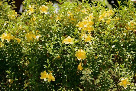 Yellow Alamanda Flowers (Allamanda cathartica) Blooming in a Tropical Garden Imagens