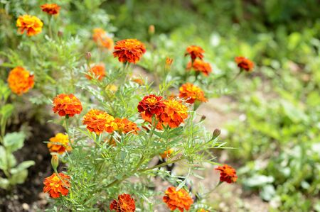 Beautiful marigolds bloom in the summer garden on a bright sunny day Imagens