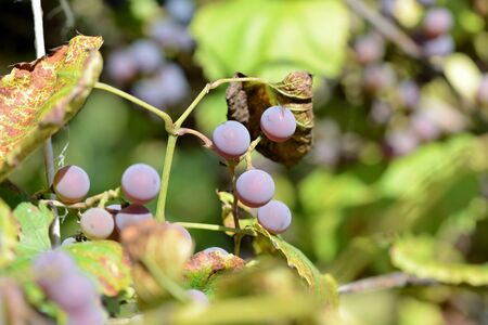 Unripe grapes in the summer garden on a bright sunny day closeup