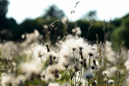 Fluffy thistle seeds lit by the evening sun close up