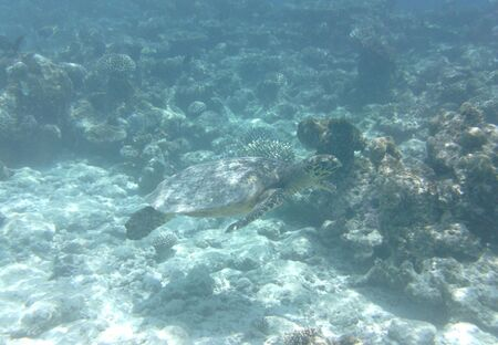 A large sea turtle swims among corals in the Indian Ocean, Maldives