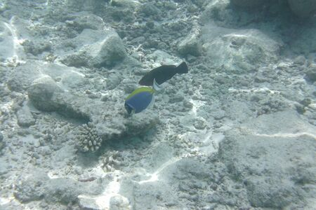 Powder blue tang (Acanthurus leucosternon), surgeonfish swims in the Indian Ocean, Maldives