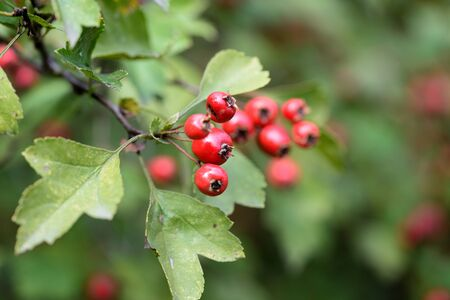 Hawthorn berries on a branch in autumn day close-up