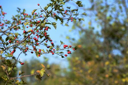 A branch of a hawthorn bush with ripe fruits illuminated by the bright sun on an autumn day in the forest Banco de Imagens