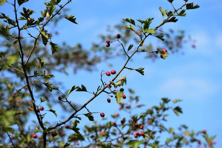A branch of a hawthorn bush with ripe fruits illuminated by the bright sun on an autumn day in the forest Banco de Imagens - 131286652