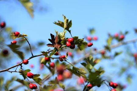 A branch of a hawthorn bush with ripe fruits illuminated by the bright sun on an autumn day in the forest Banco de Imagens - 131286654