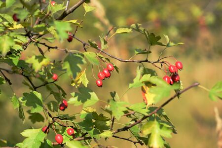 Bright red hawthorn berries on a bush in the autumn forest Banco de Imagens - 131287259