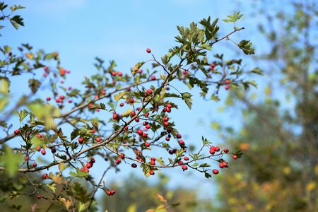 Bright red hawthorn berries on a bush in the autumn forest