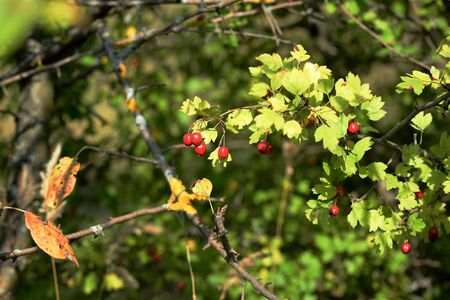 Bright red hawthorn berries on a bush in the autumn forest Banco de Imagens - 131287616
