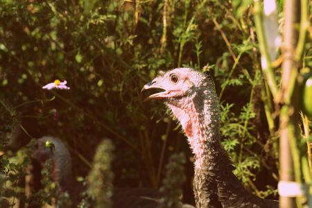Turkeys walking in the vegetable garden among tomatoes and other greens. Retro style toned
