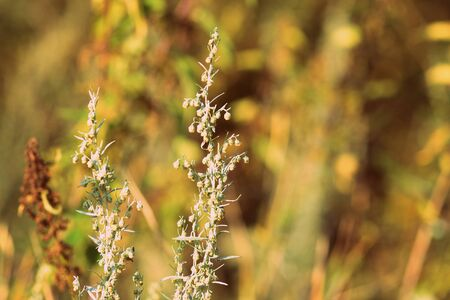 Wormwood on the summer field on a sunny day close-up. Retro style toned Banco de Imagens