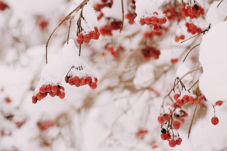 Ripe viburnum covered with snow close-up. Winter background