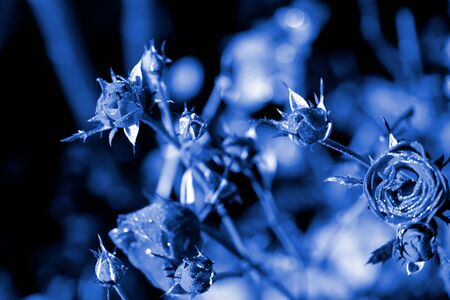 Rose flowers covered with morning dew in a summer garden close-up. Blue color toned