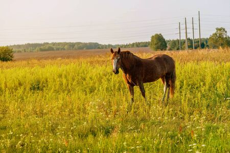 Cute brown horse grazes on a summer field in the evening