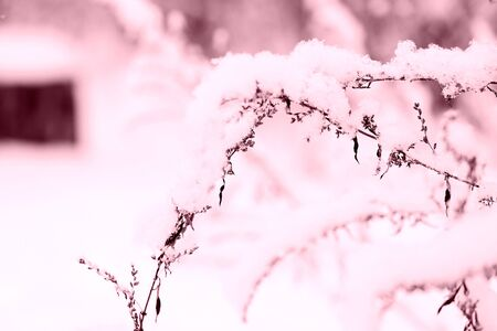 Snow on dry grass in the winter forest close up. Natural background pink color toned
