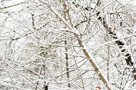 Branches of trees covered with snow in winter forest. Natural background Zdjęcie Seryjne