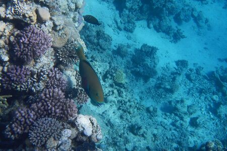A bright parrot fish swims among corals in the Red Sea, Egypt