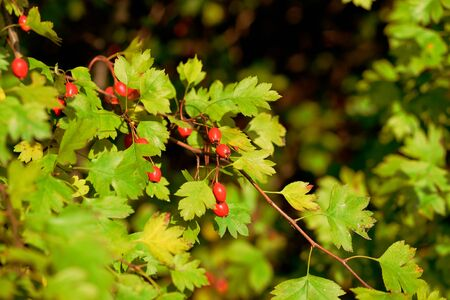 Ripe hawthorn berries on a bush in the autumn forest on a sunny day