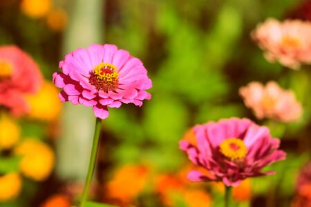 Beautiful zinnia flowers in a summer garden on a sunny day close-up. Retro style toned