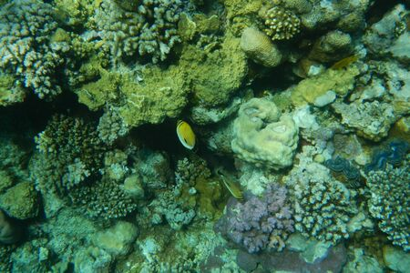 Colorful tropical fish swim among corals in the Red Sea, Egypt Stockfoto - 134007249