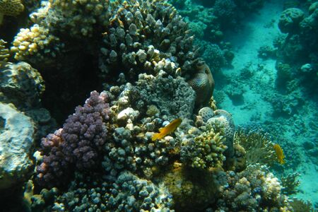 Colorful tropical fish swim among corals in the Red Sea, Egypt