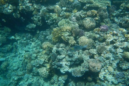 Colorful tropical fish swim among corals in the Red Sea, Egypt Stockfoto - 134007354