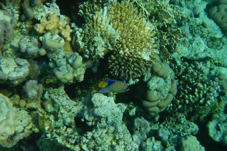 Colorful tropical fish swim among corals in the Red Sea, Egypt Stockfoto - 134007355