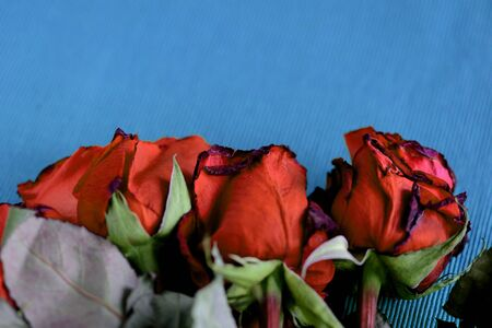 Wilted roses red color on a blue textile background close-up