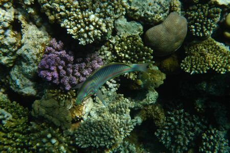 Colorful tropical fish swim among corals in the Red Sea, Egypt Stockfoto - 134008374