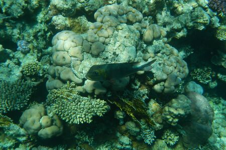 Colorful tropical fish swim among corals in the Red Sea, Egypt Stockfoto - 134008380