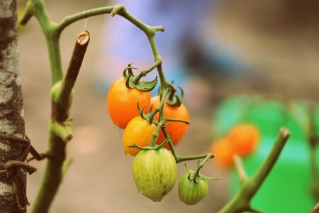 Unripe tomatoes in the garden in the summer after rain close-up Reklamní fotografie